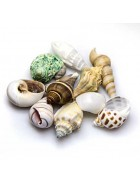 Hobby Sea Shells Set M (2,5 - 4cm,10 Stück)