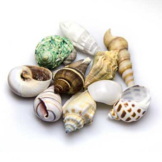 Hobby Sea Shells Set L (4 - 6cm,5 Stück)